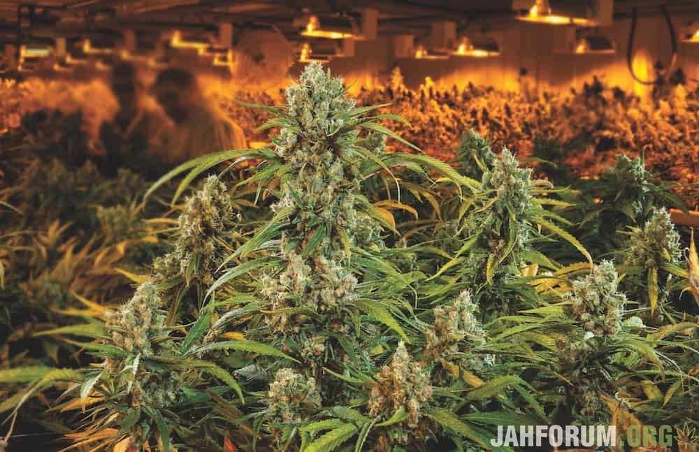 inside-aurora-cannabis-worlds-biggest-grow-5.jpg