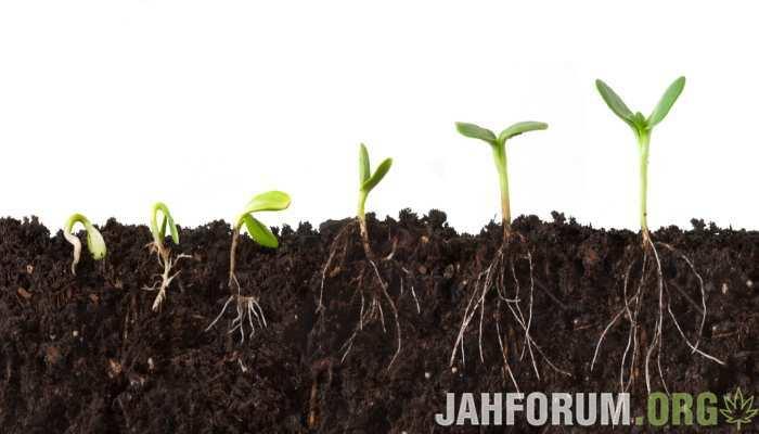 Когда посадит коноплю подымает ли давление конопля