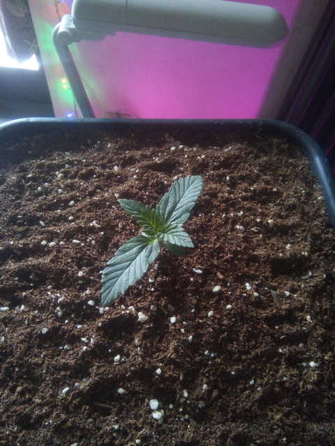 Kush'N'Cheese fem (Dinafem Seeds)