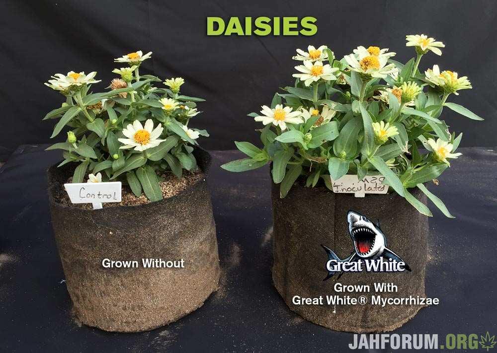 daisies.jpg.9340ff25c01b058bfbe580e11285a220.jpg
