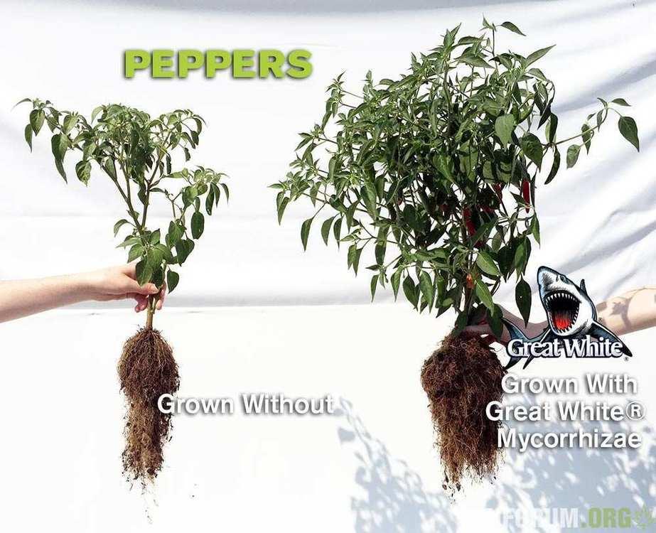pepper-roots.thumb.jpg.54835f23d76d92176a0838bfa7f5e0d0.jpg