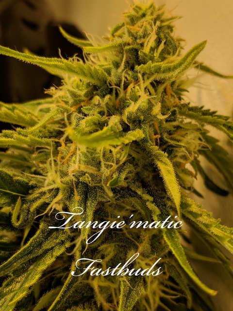 Tangie'matic Fastbuds 65 діб від каски