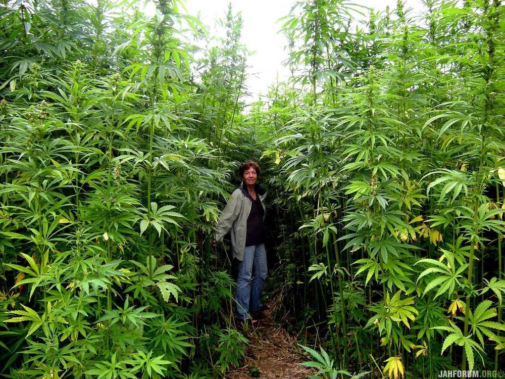 Как выращивают коноплю на поле как определить курит ли человек марихуану