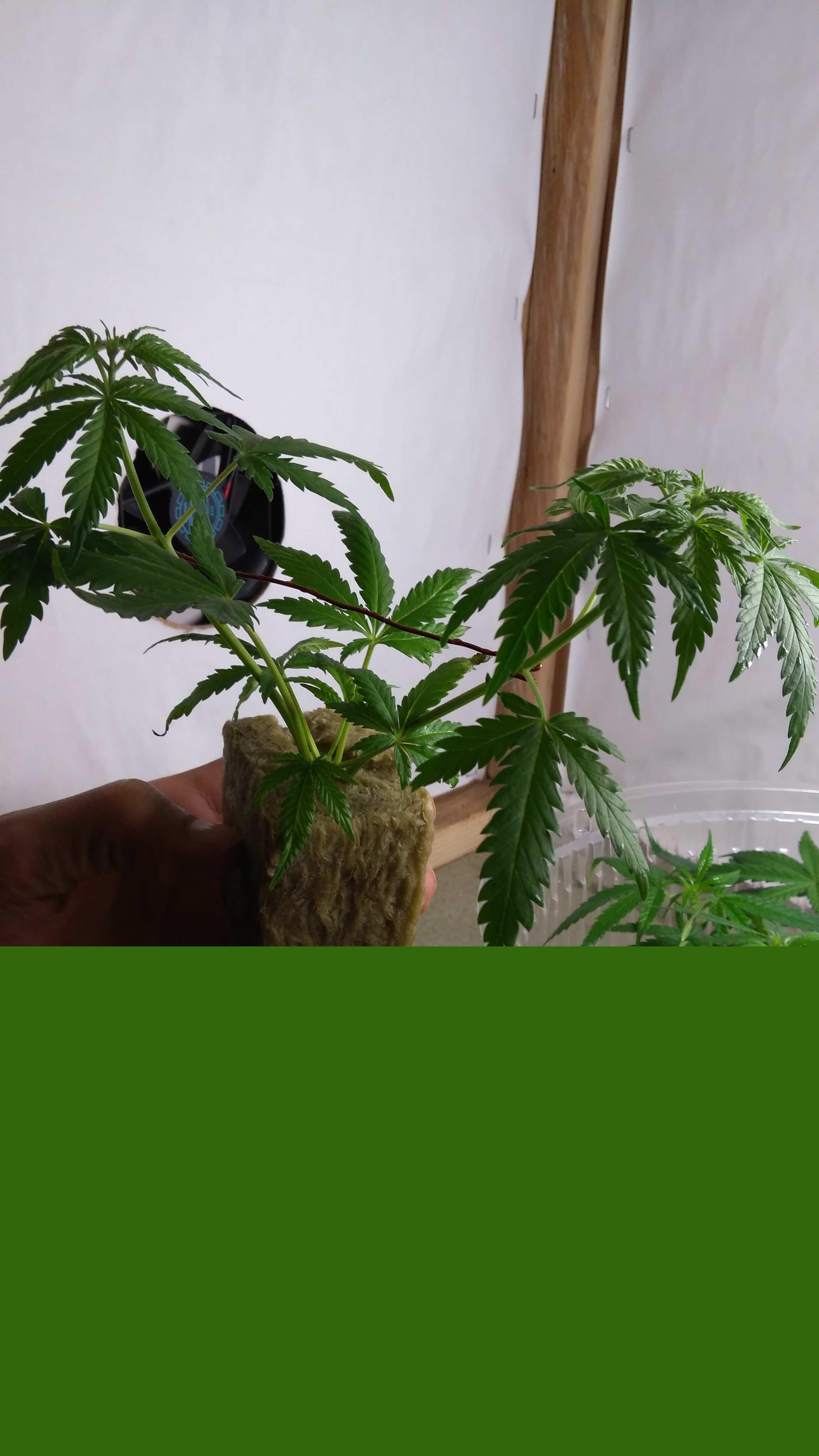 Вымачиваем марихуану разрешат ли марихуану