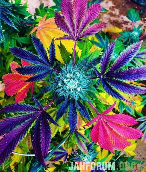 Разноцветная конопля как выращивают коноплю дома
