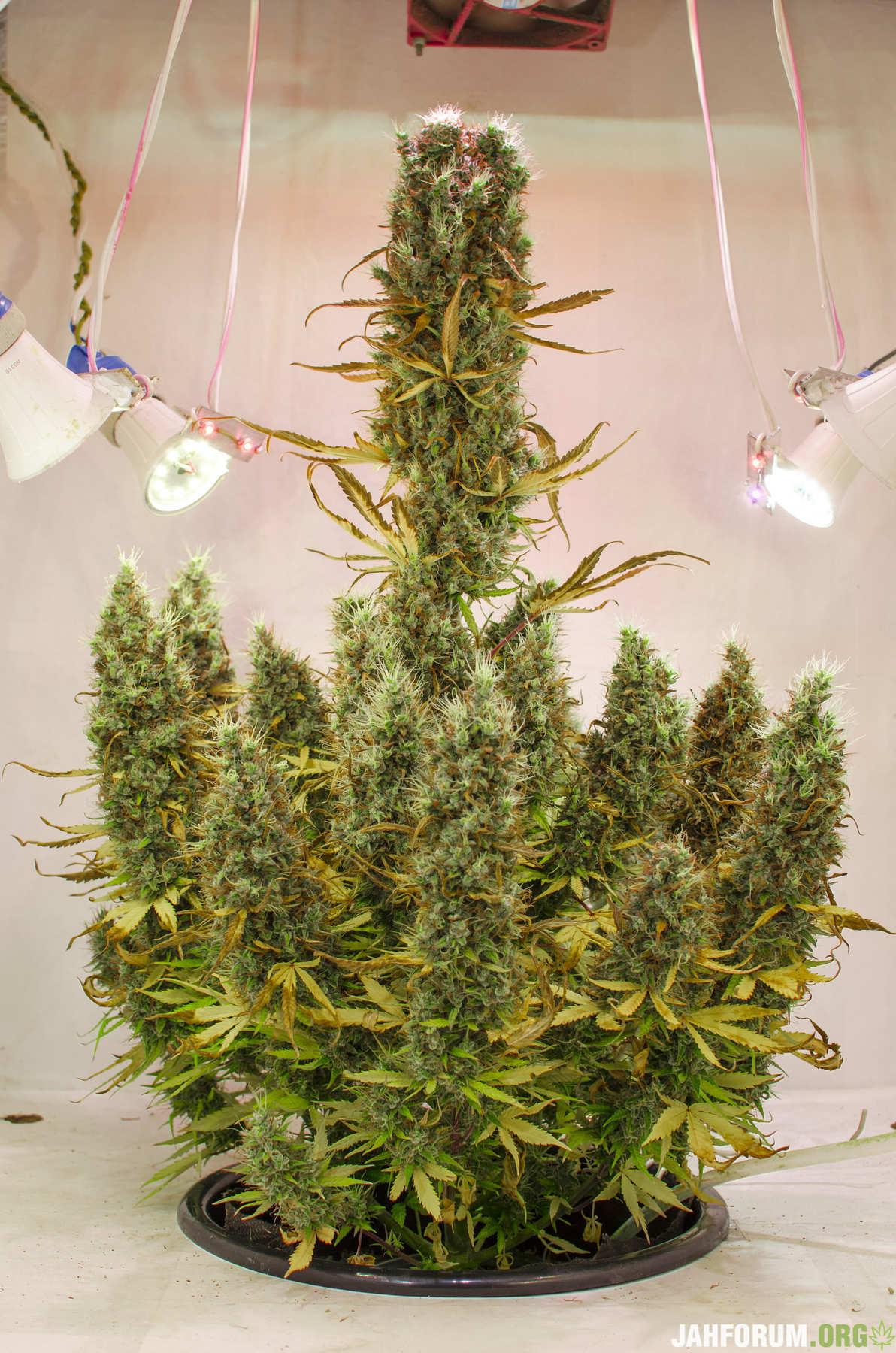 Форум выращивания конопли поможет ли марихуана при простуде