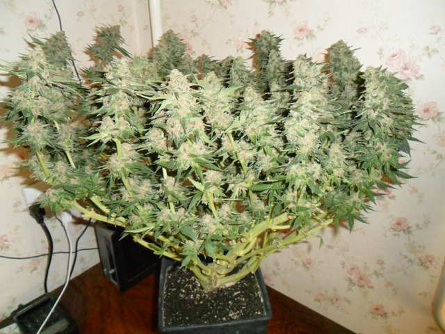 Sugar Black Rose Fem II