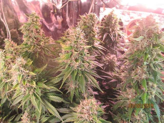 Grizzly Purple Kush...финишная прямая, нах)))