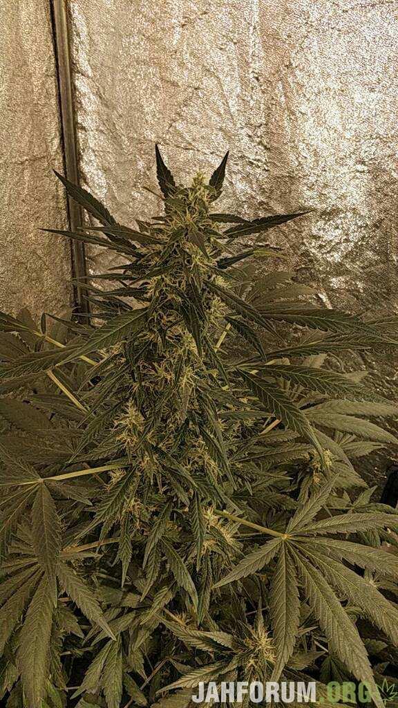 В груди дым афганской марихуаны сколько держится в крови и в моче марихуана