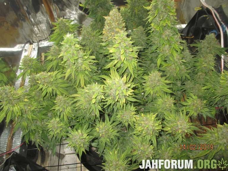 32.Grizzly-purple-kush-blimburm-seeds-by-planokur77.JPG