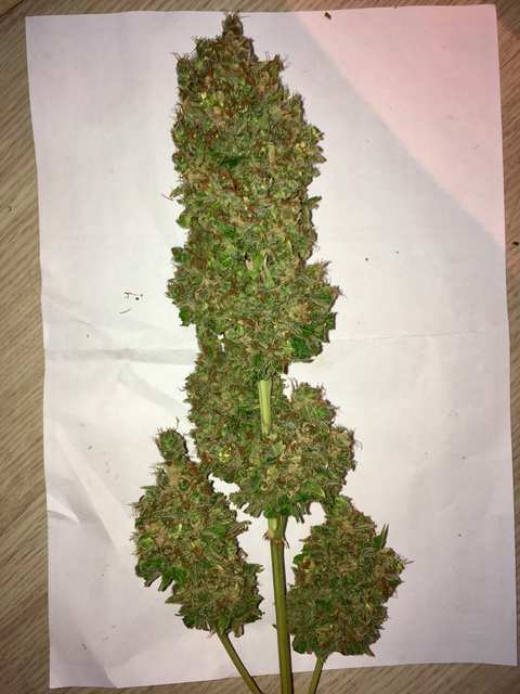 Super auto Kingston/Jamaican flower seeds (JFS)