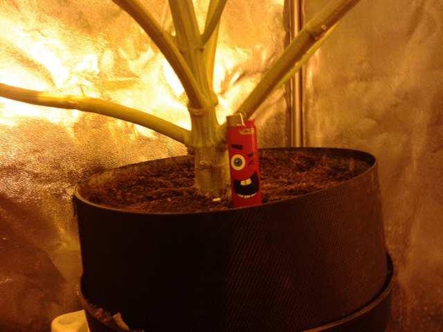 Black Cherry Pie fem 67 дней от каски.jpg