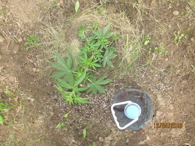 Northern Lighs...Pyramid Seeds
