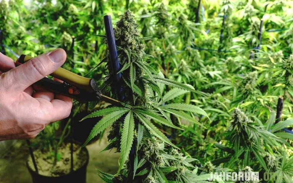 1422445633_cannabis-pruning-2-1280x800-1024x640(1).thumb.jpg.ed921e586b9d3b7b6130950ca3022397.jpg