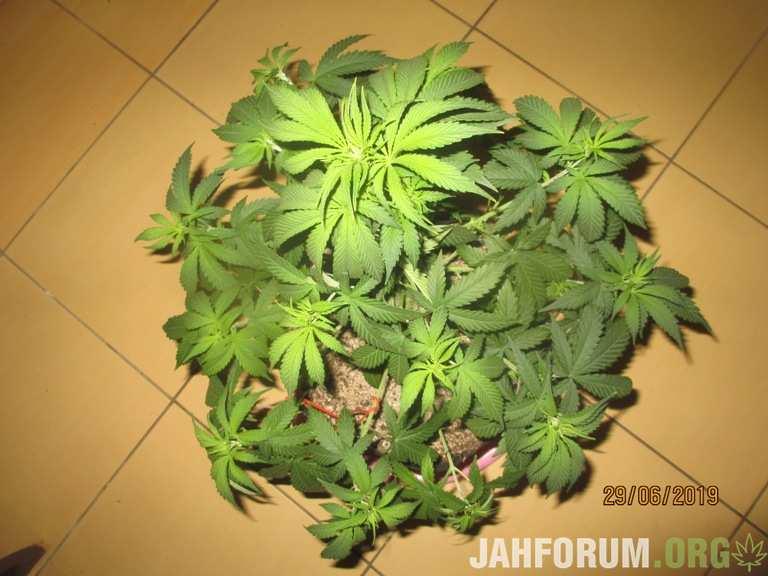 Jack 47...Sweet Seeds