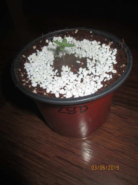 LSD...Errors Seeds
