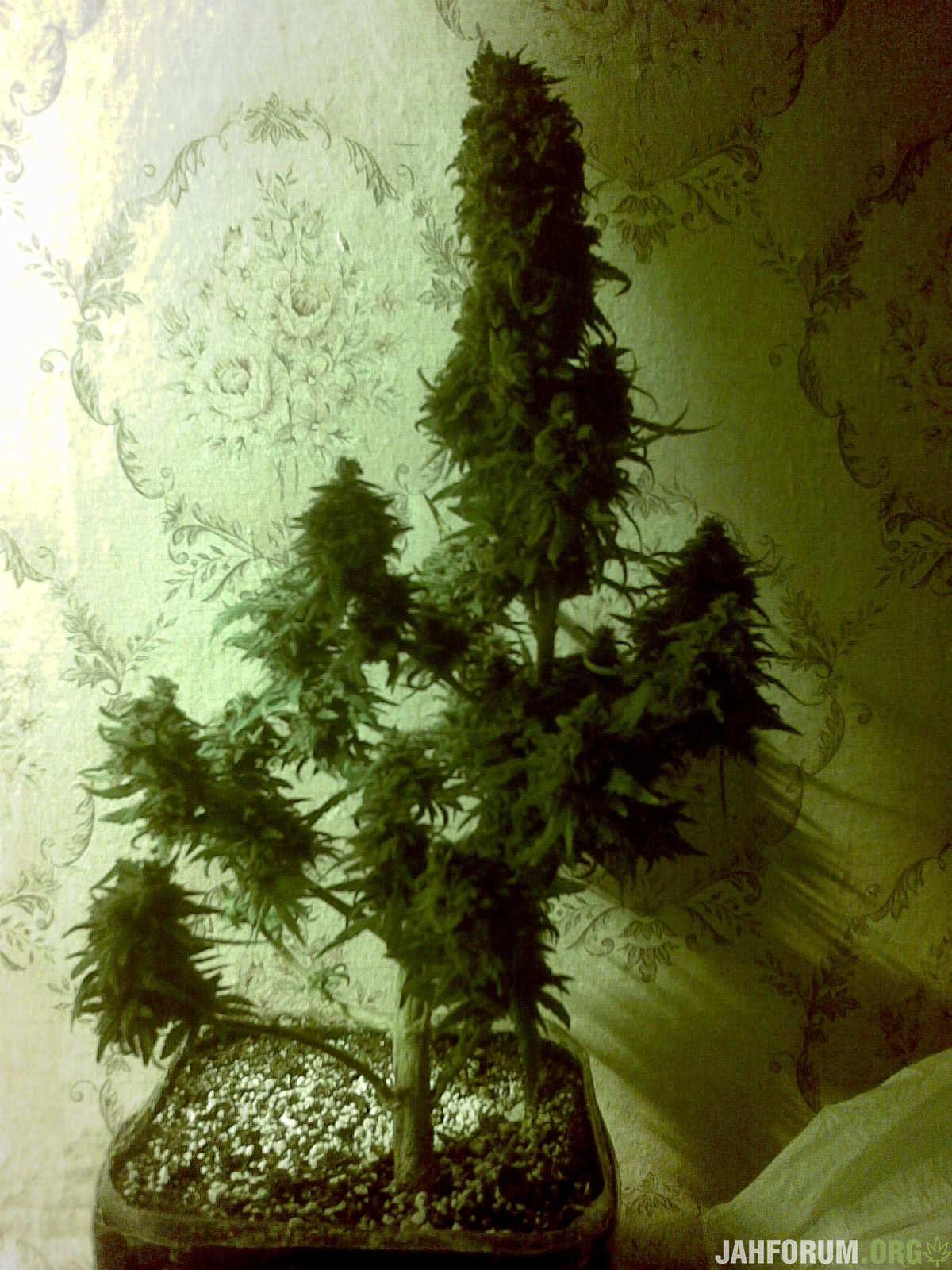 Блэк Шугар Роуз,9 недель цветения