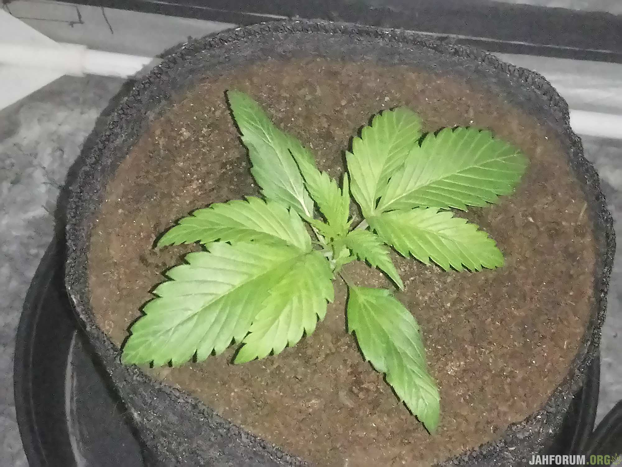 DAY-12,FAST BUDS,ROYAL QUEEN (2)