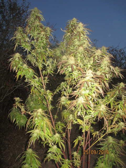 Critical Kush...Barneys Farm...потрепанная ветром)))