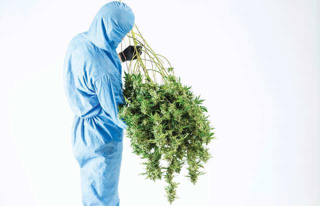 30-percent-THC-strain@2x