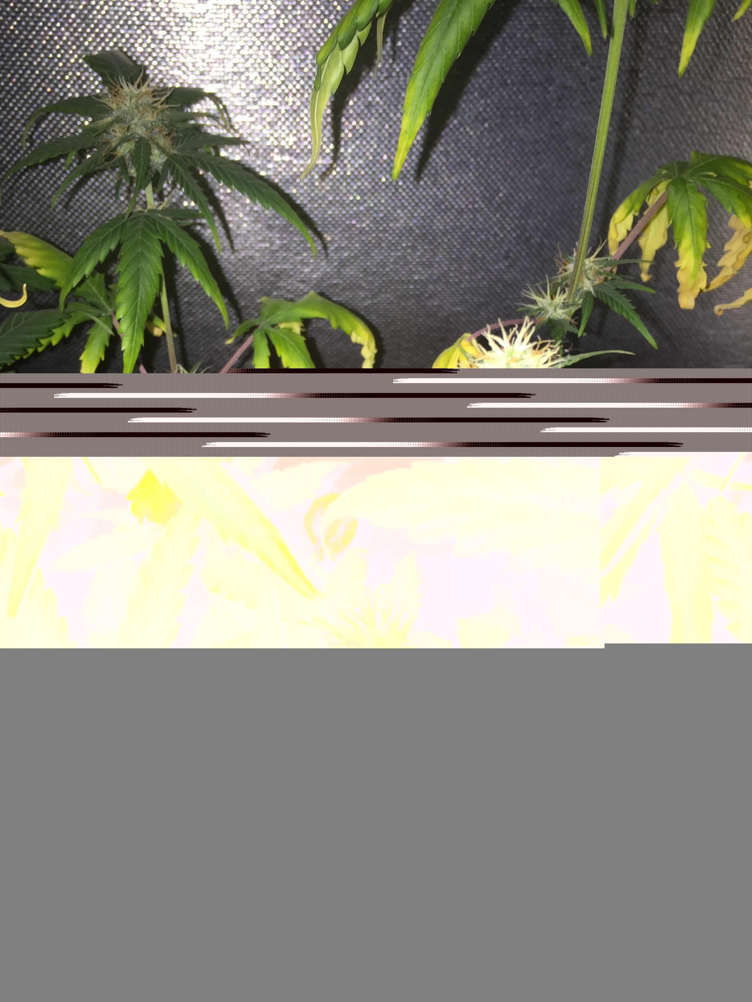 Завяла конопля что делать игры на пк по марихуану