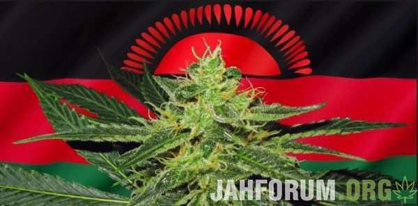 Вырастить марихуану форум влияния курения марихуаны на потенцию