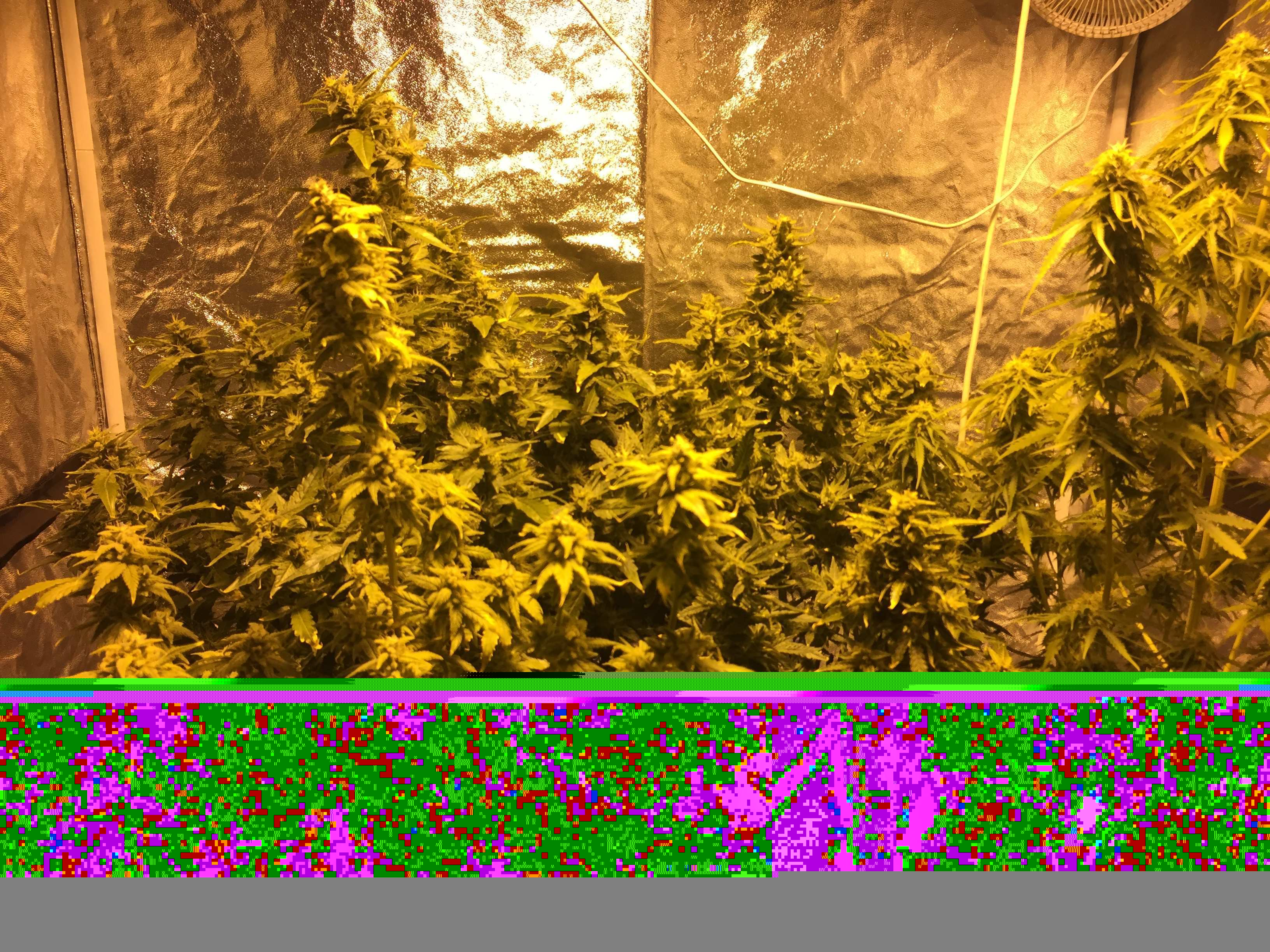 Четвертый-Grow на земле и первый на Гидре! /DWC + BioBizz/ 600 днат GIB/ Сорта - 3х -AutoFemTangie ; 3х - AutoFem Gelato45/ ГроуТент-120х120х200. Репорт Завершен