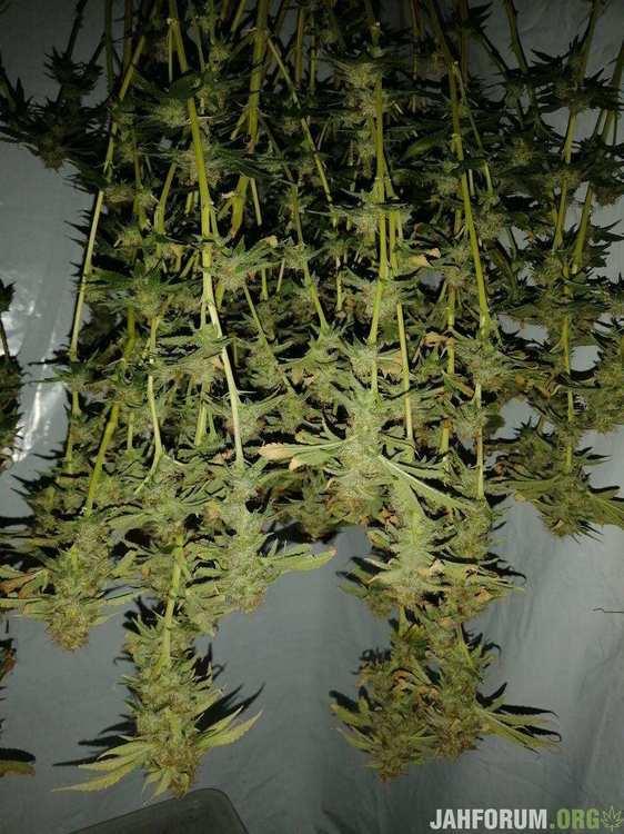 LSD BF / UHELED C2-750 / 90x90x185  /Jungle Juice / UGro COCO / Швази / конец. Репорт Завершен