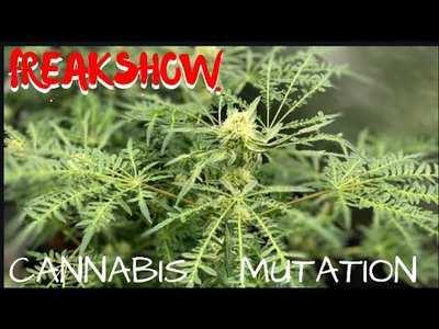 Сорта марихуаны видео фотографии семян конопли