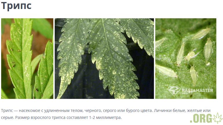 Screenshot_2020-08-31 Болезни и вредители конопли - RastaMaster info.png