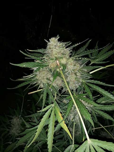 Растим коноплю дома муй не марихуана