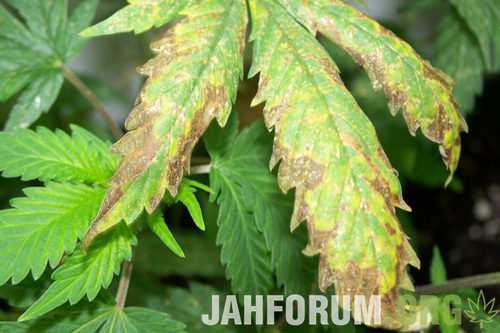 Marijuana-Plants-With-Nutrient-Burn-500x333.jpg