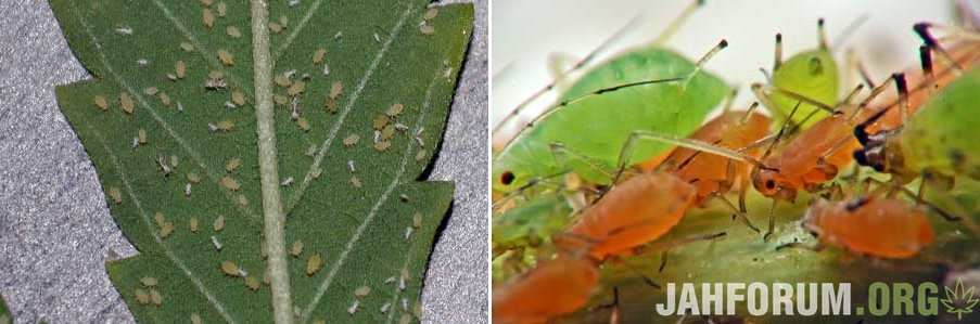 aphids-on-cannabis-leaves-with-larvae-sm-tile.jpg.df049f1e576d51f7577ad55d2b7140b0.jpg