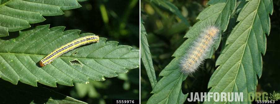 caterpillar-damage-cannabis-leaf-by-whitney-cranshaw-450x338-tile.jpg.8d634ec93b7b3288b50886739f2a0736.jpg