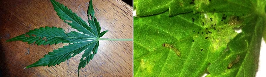 caterpillar-inchworm-leaf-damage-sm-tile.jpg.3694110b4f0366384c5f3eae684d83e0.jpg