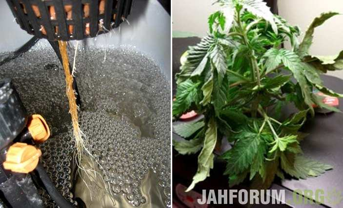 example-marijuana-root-rot-brown-above-the-waterline-sm-tile.jpg.eaa1af75d67b74201144dbd4318301e9.jpg