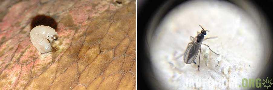 fungus-gnat-larva-sm-tile.jpg.7a141159305bf020a550d83027ed3f9c.jpg