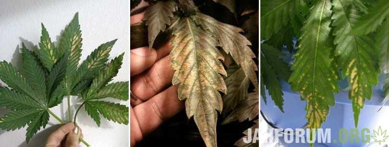 incorrect-ph-cannabis-sm-tile.jpg.c1dd2f4a12fa61233aa61acee9142e6c.jpg