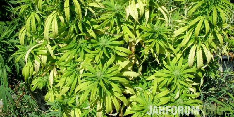 large.Nitrogen-deficiency-in-marijuana-plants.jpg.e872f8d2587c191ce2db5b732dbe0bfd.jpg