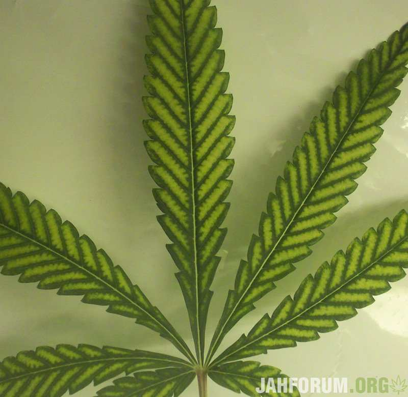 large.marijuana-leaf-yellowing-magnesium.jpg.377cd5b1d1d361a4180f14a0d0625a16.jpg