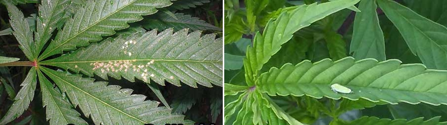 leafhopper-damage-marijuana-leaf-sm-tile.jpg.407b80934774c548a423764c659c756b.jpg