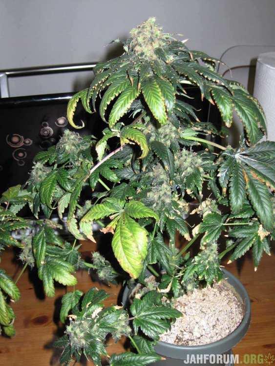 nitrogen-toxicity-flowering.thumb.jpg.75e0263b43009a72f32fafd2a87fd3cc.jpg