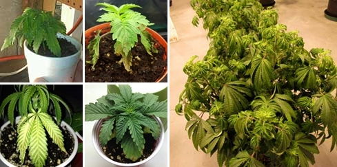 over-watered-marijuana-plant-sm-tile-tile.jpg.2cd84a488aa7c780dbc1a22bf7ec7f71.jpg