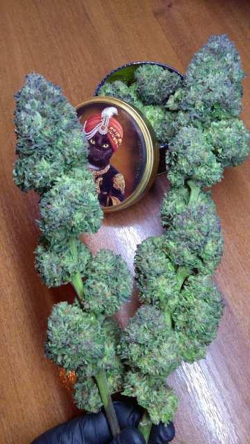 Пурпурные самородки