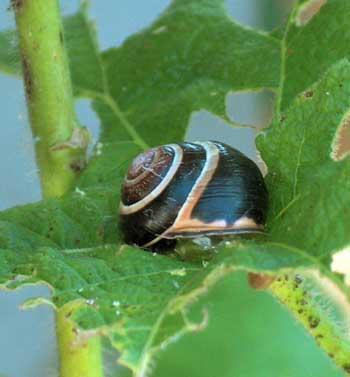 snail-damage-cannabis-leaf-sm.jpg.9f8b6ffaa5cfd38df01b038cde7a72d8.jpg