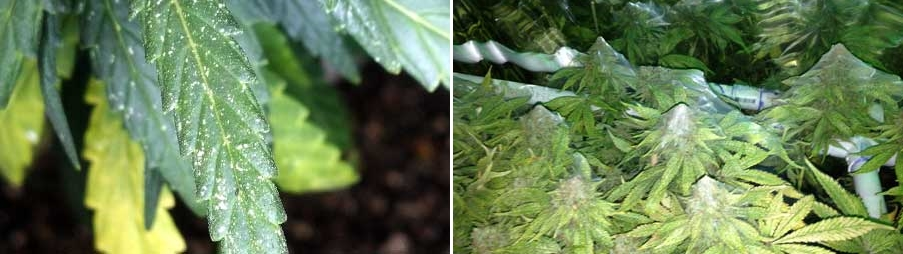 spider-mite-damage-cannabis-sm-tile.jpg.36dcd274cb0eae8c52e755970a789d8e.jpg