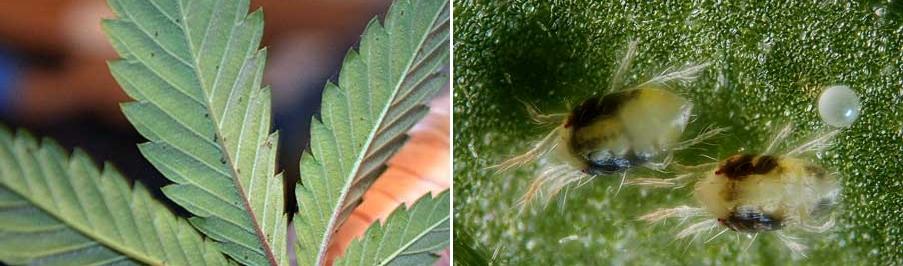 spider-mites-on-leaf-xsm-tile.jpg.e88b3000e996055830adc9871c880f7c.jpg