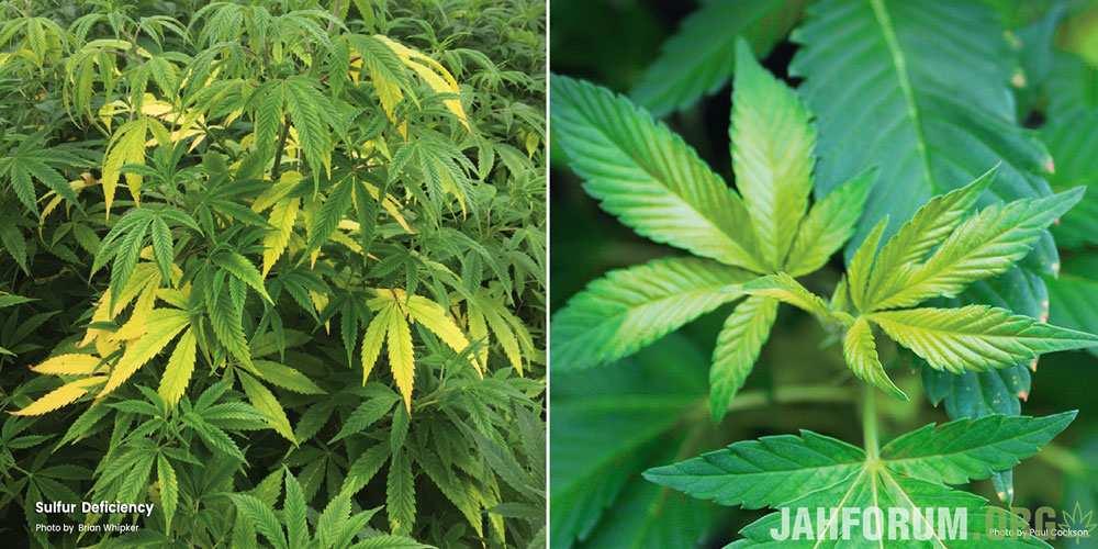 sulfur-deficiency-plant-leafs.jpg.e536a38766b27f9348b9ef0f1a55d457.jpg