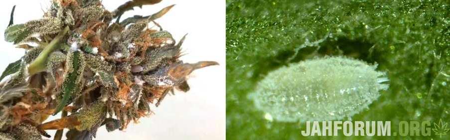 white-hairy-mealy-bugs-cannabis-450x286-tile.jpg.ddd7cfbc09d629e79b1647c487643bfa.jpg