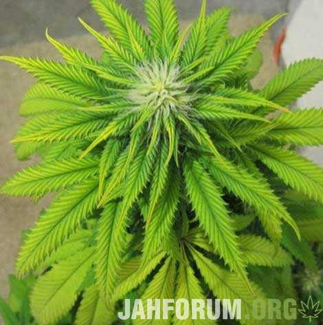 large.126791133_zinc-deficiency-cannabis(1).jpg.4c62c6d127f9ae4612d33f75d9d8bf39.jpg